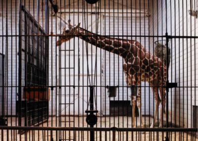 Giraffe, St. Louis, 1987