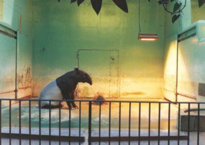 Malay Tapir, Brookfield, 1985