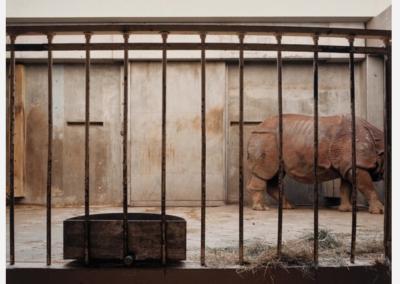 Indian Rhinoceros, National Zoo, Washington D.C., January 1986