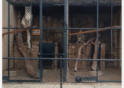 Snow Leopard, San Antonio, Texas, December 1987, printed 1988.